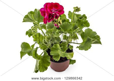 Red garden Geranium Pelargonium with buds isolated on white background, garden geranium flowers in flowerpot