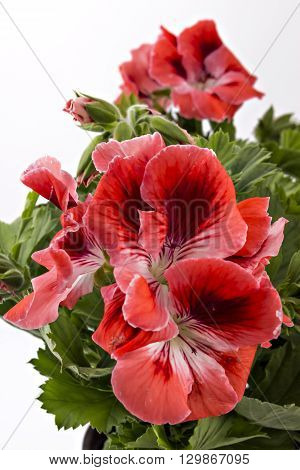 Red and white English geranium flower isolated on white background