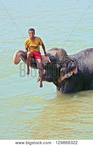 CHITWAN NATIONAL PARK, SAURAHA ,NEPAL - OCTOBER 15, 2008: Unidentified man seats on bathing Asian Elephant (Proboscidea Elephas maximus) in Chitwan National Park river, Nepal