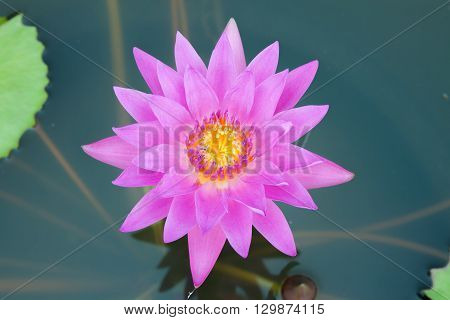 The pink lotus blossom in the lagoon