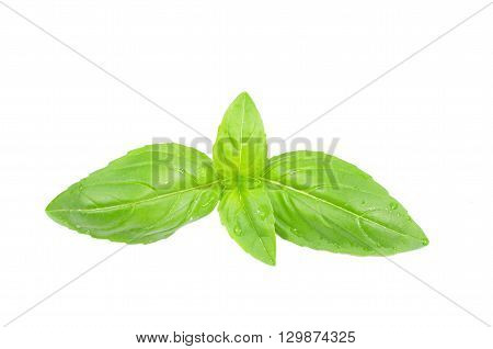 fresh herb basil on a white background