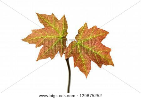 fresh small acer on a white background