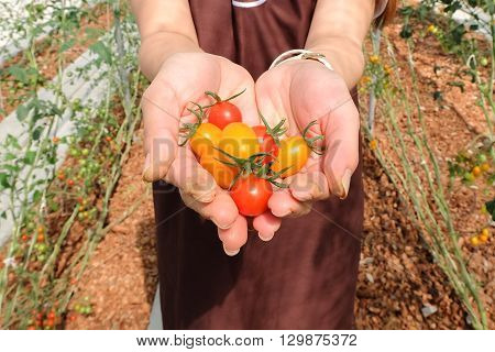 Young Woman Holding Multi Color Cherry Tomatoes In Hands