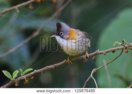 Whiskered Yuhina Yuhina flavicollis Birds of Thailand