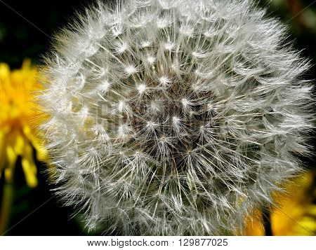 down dandelion on stem with seeds on plants background
