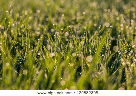 Blurred Water Drops On The Grass In The Morning