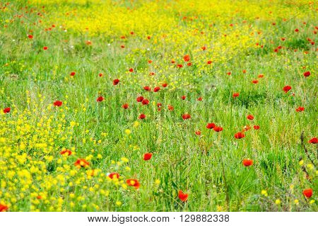 Field of blooming poppies in French Provence