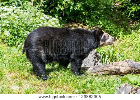 View Of A Spectacled Bear In Zoo