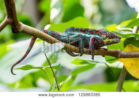 View Of A Green Chameleon In A Zoo