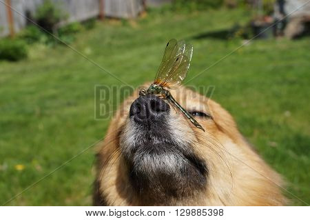 Dragonfly sits on the nose of the dog breed German Spitz.