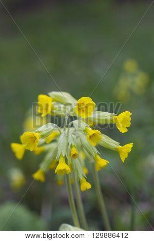 Yellow Flower Primula elatior, spring day in the garden