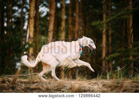 White Russian Borzoi Gazehound Fast Running In Forest