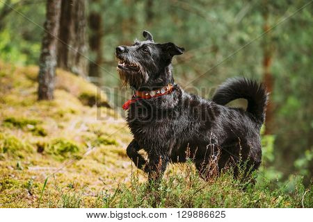 Loyal Small Size Black Hunting Dog In Summer Forest.