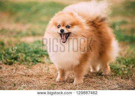 Funny Red Pomeranian Spitz  Small Dog Outdoor