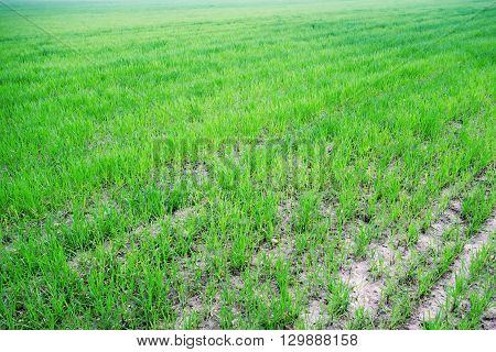 the agricultural field or arable land with green shoots of agricultures of a new harvest for a natural background
