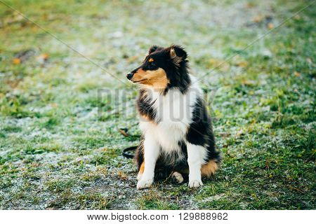 Young Shetland Sheepdog, Sheltie, Collie Puppy Sit In Grass Outdoor