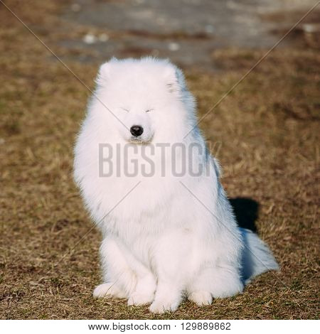 Funny Lovely Young White Samoyed Dog Outdoor in Autumn Park.