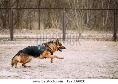 Running German Shepherd Dog Training. Alsatian Wolf Dog