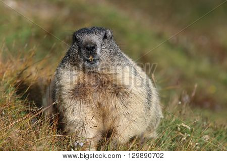 Alpine Marmot at Pennine Alps in Switzerland. Europe