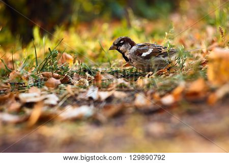 Alone sparrow in the Park, Russia, Orel