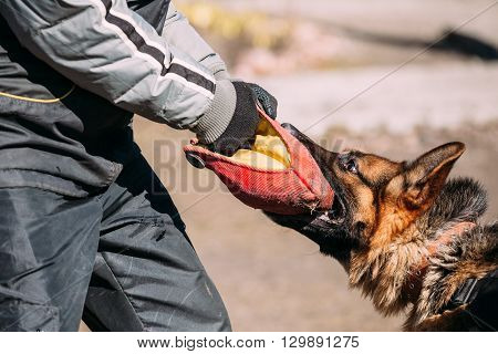 German Shepherd Dog Training. Biting Alsatian Wolf Dog. Close Up