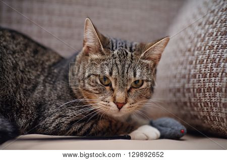 Angry striped cat with a toy on a sofa.