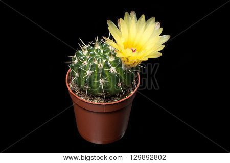 A cactus with yellow flower isolated on black background.