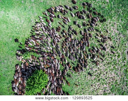 flock of sheep grazing on spring green field, top view