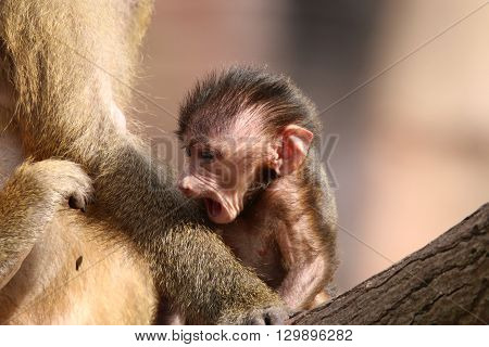 Guinea Baboon Baby (Papio Papio) with Mother