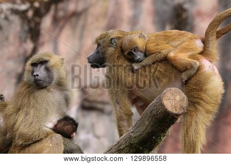 Guinea Baboon Family with Babies (Papio Papio)