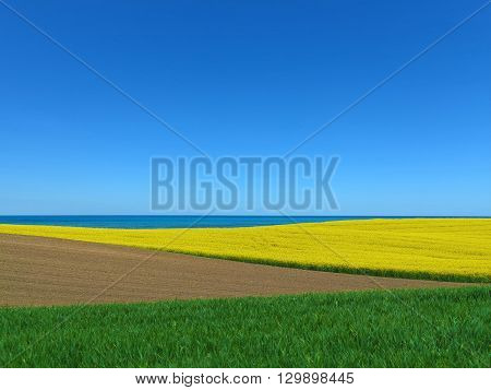 agricultural rural landscape with blooming canola field by the sea