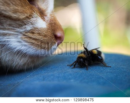 The nose of a cat and insect bumblebee