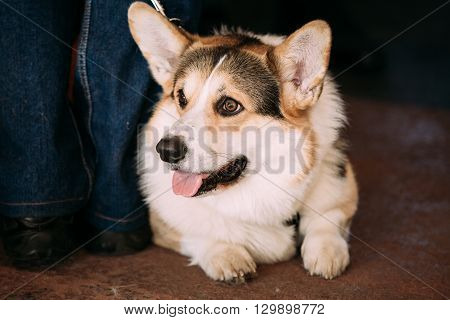 Funny Cute Lovely Happy Welsh Corgi dog.