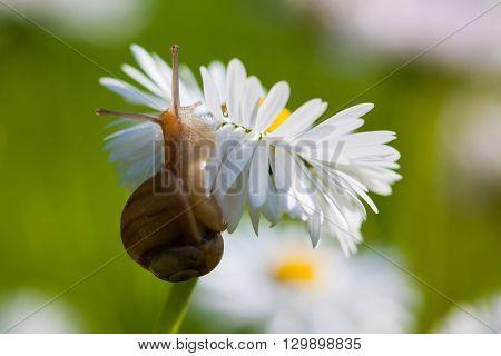Snail On The English Daisy (bellis Perennis)