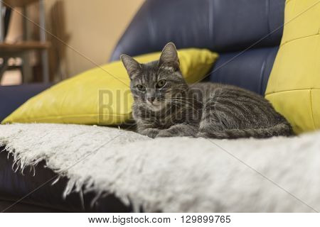 lazy  cat  lay down on  the couch