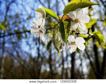 Close image of a cherry blossom in spring