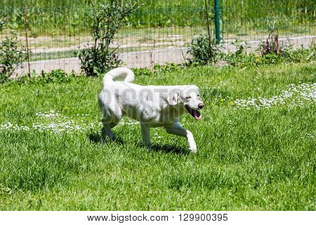 View of a white mixed labrador shelter dog on a meadow in the garden