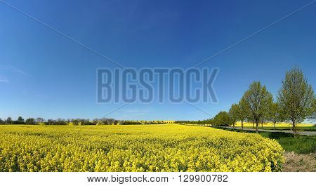 Blooming rapeseed field on a Road in spring