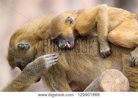 A Guinea Baboon Family (Papio Papio) closeup