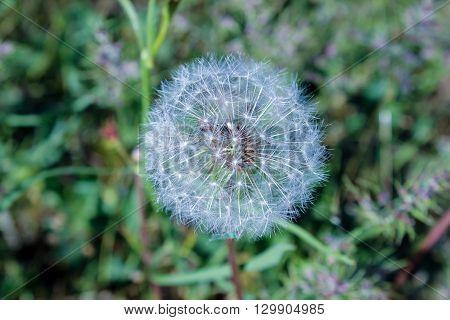 fluffy dandelion on  background of green spring grass