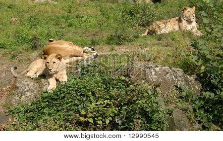 Lions On A Grass