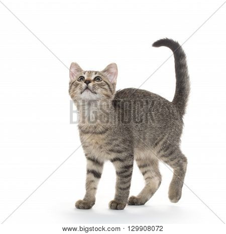 Cute Tabby Cat On White Background