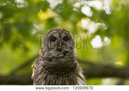 Barred Owl Perched In Tree