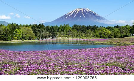 Fuji With The Field Of Pink Moss At Shibazakura Festival, Yamanashi, Japan
