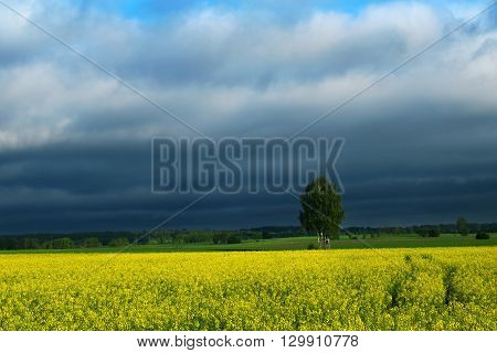 Field covered with rape during stormy weather. Masuria Poland.