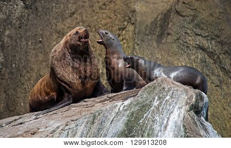 Sea lions interact on a haulout in Alaska