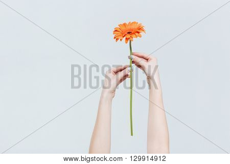Female hands holding red gerber isolated on a white background