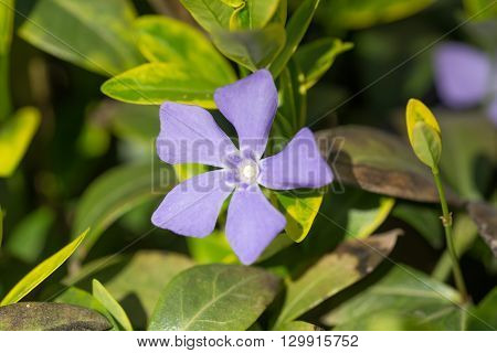 flowering periwinkle in spring day close up