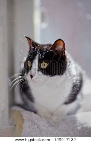 Portrait of a beautiful cat of a black-and-white color
