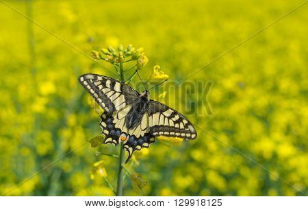 Old World Swallowtail (Papilio machaon) butterfly in rape-seed field located in central Ukraine